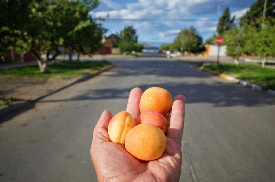 Chile Chico handfull of ripe peaches