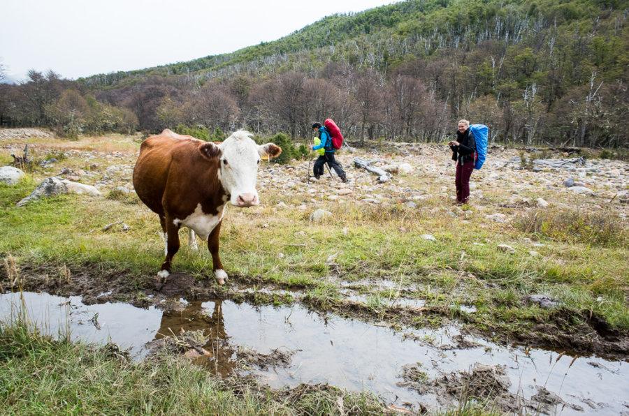 Cerro Castillo Trek Cow